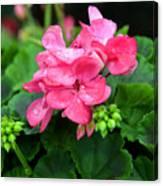 Raindrops On Pink Geranium Canvas Print