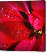 Raindrops On Red Poinsettia Canvas Print