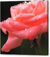 Raindrops On Roses... Canvas Print