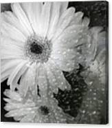Rainy Day Daisies Canvas Print
