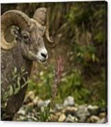 Ram Eating Fireweed Canvas Print