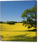 Rapeseed Field,west Sussex, England  Canvas Print