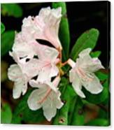 Rare Florida Beauty - Chapmans Rhododendron Canvas Print