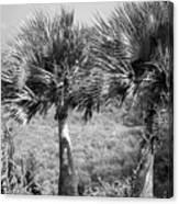 Rare Palm Trees Curacao Canvas Print