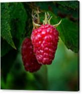 Raspberry 1 Canvas Print