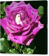 Rays Purple Passion Canvas Print