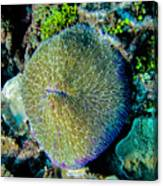 Razor Coral At Pakin Atoll Canvas Print
