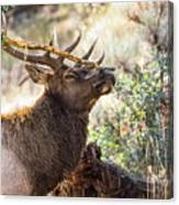 Ready For Rut Canvas Print