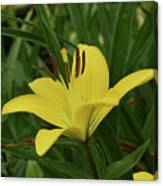 Really Beautiful Yellow Lily Growing In Nature Canvas Print