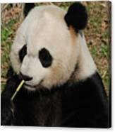 Really Cute Giant Panda Bear With Bamboo Canvas Print