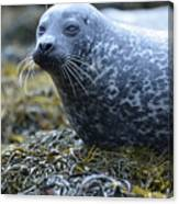 Really Cute Harbor Seal On Seaweed Canvas Print