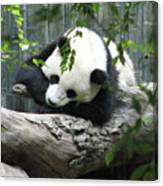 Really Cute Panda Bear Sleeping On A Log Canvas Print
