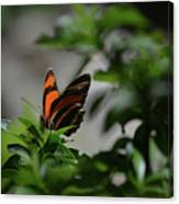 Really Elegant Oak Tiger Butterfly In Nature Canvas Print