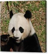 Really Great Panda Bear Chomping On A Fistful Of Bamboo Canvas Print