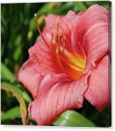 Really Pretty Blooming Pink Daylily In A Garden Canvas Print