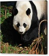 Really Sweet Giant Panda Bear Waddling Around Canvas Print