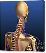 Rear View Of Human Spine And Scapula Canvas Print