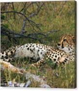 Reclining Cheetah 2 Canvas Print