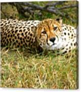 Reclining Cheetah Canvas Print