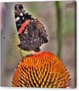 Red Admiral Butterfly On Coneflower              July              Indiana Canvas Print
