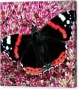 Red Admiral Butterfly Vanesa Atalanta Canvas Print