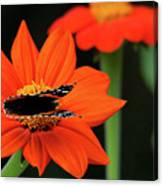 Red Admiral Nectaring On Tithonia Canvas Print