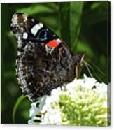 Red Admiral - Underside Canvas Print