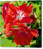 Red Amaryllis At Pilgrim Place In Claremont-california Canvas Print