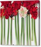 Red Amaryllis With Butterfly Canvas Print