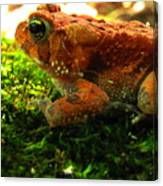 Red American Toad Canvas Print
