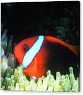 Red And Black Anemonefish, Great Barrier Reef Canvas Print