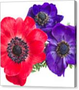 Red And Blue Anemone Flowers  Canvas Print