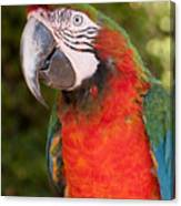 Red-and-green Macaw Canvas Print