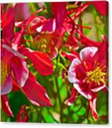 Red And White Columbine At Pilgrim Place In Claremont-california Canvas Print