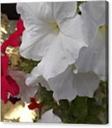 Red And White Petunias Canvas Print