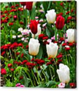 Red And White Tulips With Red And Pink English Daisies In Spring Canvas Print