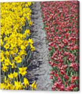 Red And Yellow Tulip Fields Canvas Print