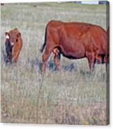 Red Angus Cow And Calf Canvas Print
