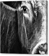 Red Angus In Black And White  Canvas Print