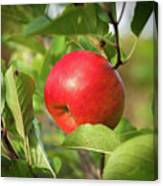 Red Apple On A Tree Canvas Print