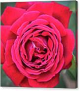 Red As A Rose  Canvas Print