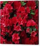 Red Azalea Blooms Canvas Print