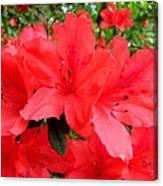 Red Azaleas Canvas Print