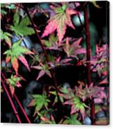 Red Bark Maple  Canvas Print
