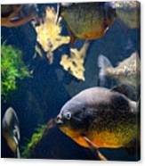 Red Bellied Piranha Fishes Canvas Print