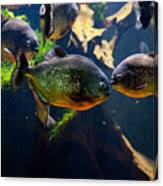Red Bellied Piranha Or Red Piranha Canvas Print