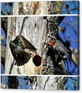 Red Bellied Woodpecker Harassed By A Starling Canvas Print