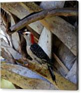 Red-bellied Woodpecker Hides On A Cabbage Palm Canvas Print