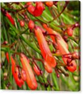 Red Blossoms Of A Firecracker Plant Canvas Print