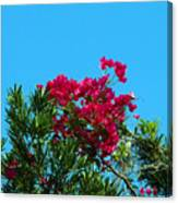 Red Bougainvillea Glabra Vine Canvas Print
